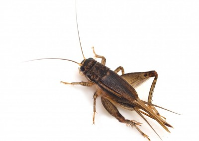 Silverfish, Crickets & Earwigs
