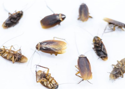 Commercial Roaches