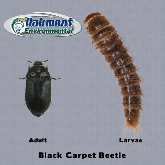 Carpet Beetles Bite Www Pixshark Com Images Galleries